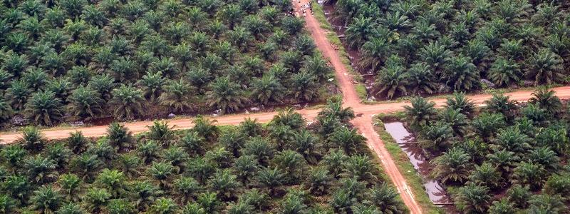 l'olio di palma fa male? piantagioni di palme da olio che si estendono a perdita d'occhio