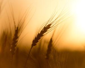 sensibilità al glutine: microbiota intestinale in grado di modularla